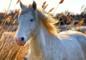 cheval-blanc horse